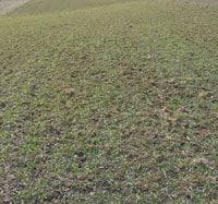 Appalachian Wheat after winter • Weatherbury Farm Grain Tracker