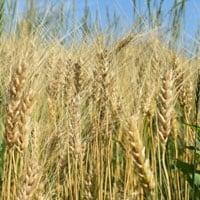 Appalachian Wheat Field • Appalachian Bread Flour in the field • Weatherbury Farm Appalachian Wheat Grain Tracker