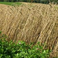 Appalachian Wheat 7.4.21 • Weatherbury Farm Grain Tracker 2021