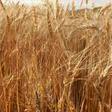 Organic Appalachian Wheat · Weatherbury Farm