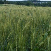 Appalachian Wheat 6.21.20 • Weatherbury Farm 2020 Grain Tracker