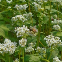 Buckwheat in flower • Buckwheat flour in the field