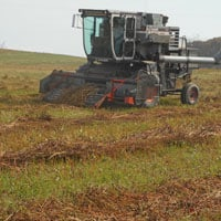 Combining Buckwheat • Weatherbury Farm • Buckwheat Flour in the field