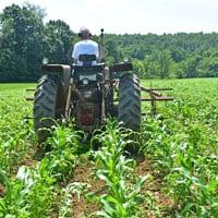 Cultivating Wapsie Valley Corn 6.25.19 • Organic Wapsie Valley Corn • Weatherbury Farm