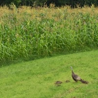 Turkeys love Weatherbury Corn 8.2.19 • Weatherbury Farm Wapsie Valley Corn