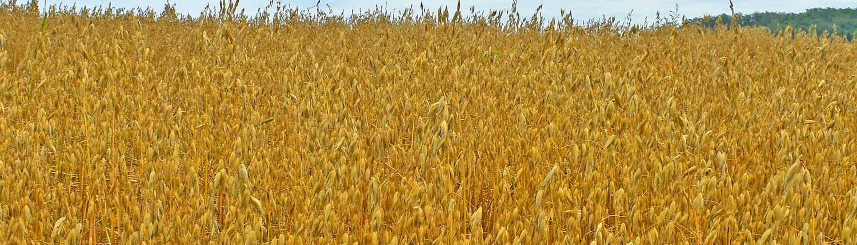Weatherbury Grain Tracker • Gehl Hull-less Oats