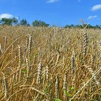 Frederick Soft White Winter Wheat • Pastry Flour in the field • Weatherbury Frederick Wheat Grain Tracker