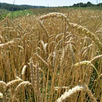 Frederick Wheat 7.5.20 • Weatherbury Farm 2020 Grain Tracker