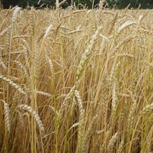 Organic Frederick Wheat · Grains Grown · Weatherbury Farm