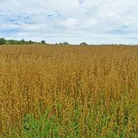 Gehl Oats 2019 in the field • Weatherbuy Grain Tracker • Rolled Oats