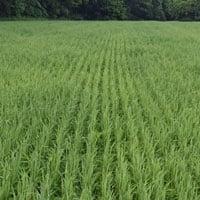 Gehl Oats in field 6.21.20 • Weatherbury Farm 2020 Grain Tracker