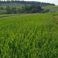 Glenn Wheat Field 6.5.21 • Weatherbury Farm Grain Tracker 2021