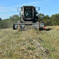 Harvesting Zorro Black Beans 10.21.19 • Weatherbury Organic Black Beans