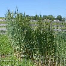 In development Obsidian Emmer Plot · Grains Grown · Weatherbury Farm