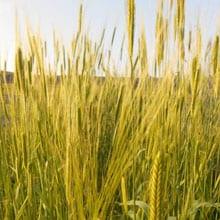 In development Alpine Einkorn · Grains Grown · Weatherbury Farm