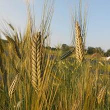 In development Obsidian Emmer · Grains Grown · Weatherbury Farm