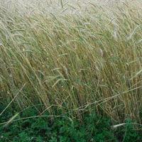 Maxine Wheat 6.27.21 • Weatherbury Farm Grain Tracker 2021