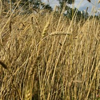 Maxine Wheat 7.4..21 • Weatherbury Farm Grain Tracker 2021