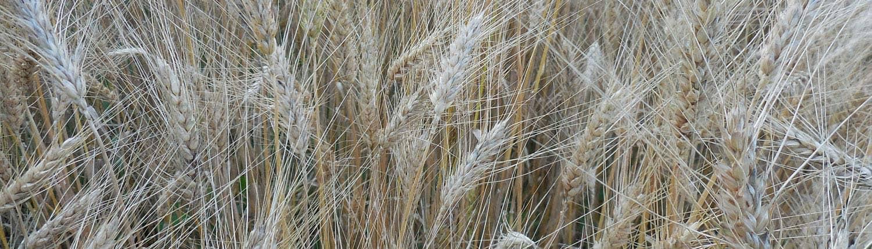 Maxine Wheat · grain tracker slider · Weatherbury Farm