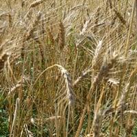 Maxine field 2018 · Weatherbury Farm