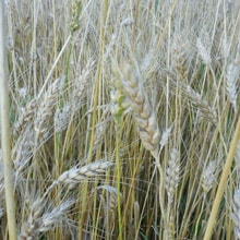 Organic Maxine Wheat · Grains Grown · Weatherbury Farm