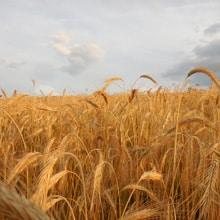 Organic Danko Rye · Grains Grown · Weatherbury Farm
