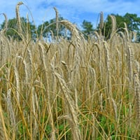 Danko Rye • Rye Flour in the field • Weatherbury Farm Grain Tracker
