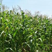 Wapsie Valley Corn-8.8.20 • Weatherbury Farm 2020 Grain Tracker