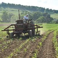 Cultivating Wapsie Valley Corn 6.20.20 • Weatherbury Farm 2020 Grain Tracker 2020