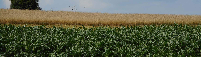 Fields of organic corn and rye · Grains Grown Slider · Weatherbury Farm