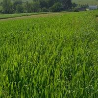 Gehl Oats in field 6.12.21 •Weatherbury Farm Grain Tracker 2021