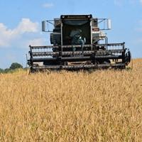 Harvesting Spelt 2018 · Weatherbury Farm