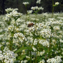 Organic buckwheat in bloom · Grains Grown · Weatherbury Farm