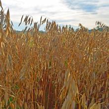 Organic Gehl hull-less Oats · Grains Grown · Weatherbury Farm